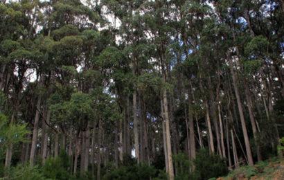 """Cameroun: Eneo mise désormais sur les forêts d'eucalyptus de l'Ouest pour ses poteaux bois """"en raison de l'inaccessibilité"""" dans le Nord-Ouest"""